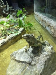 Iguana standing on the rock in zoo