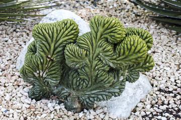 Myrtillocactus geometrizans forma cristata