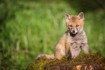 Young red fox on a bed of moss
