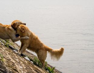 Cani marroni che si abbracciano