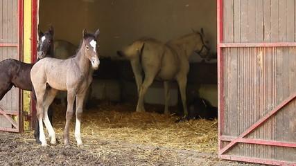 Lipizzaner foals and horses