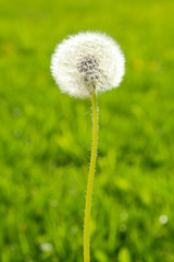 Fluffy dandelion on a green background