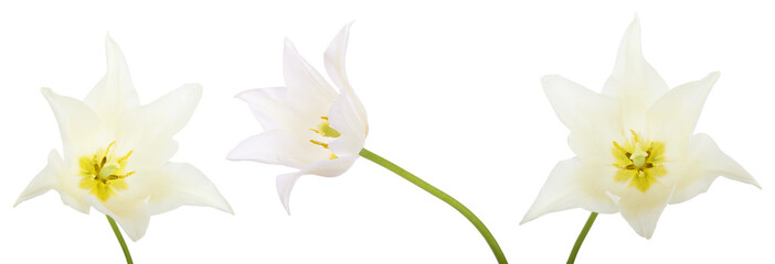 Set of White tulip isolated on white background