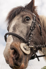 Cob wearing a bridle