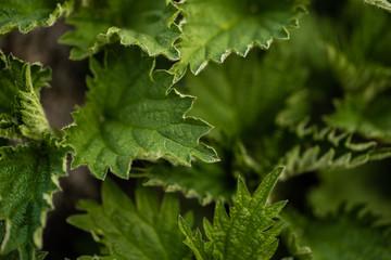 Stinging nettle leaves