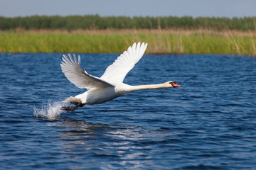 Swan fly over water