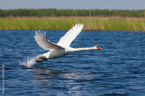 Foto op Canvas Zwaan Swan fly over water