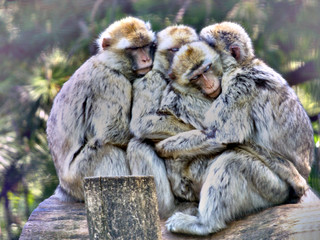 Group of barbary macaque cuddling