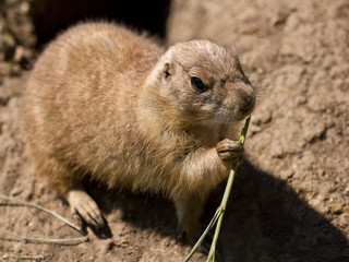 Cute prairie dog eating grass