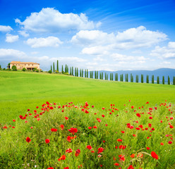 Red poppy flowers in Tuscany landscape, Italy