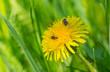 Dandelion in the spring grass