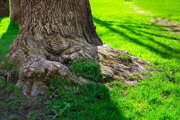rhizome large old oak and green lawn