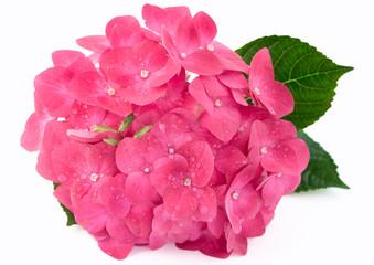 Hortensia hydrangea pink flower on white background