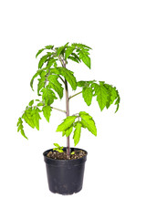 Tomato plant in a pot isolated