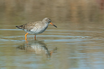 Common Redshank (Tringa totanus) wading in shallow water