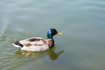 Drake, duck on blue water