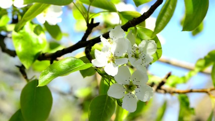 flowered fruit tree