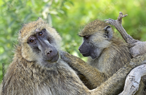 Foto op Canvas Aap Baboons