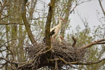 cigüeña y mochuelo en un nido de ramas en un arbol