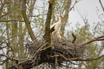 cria de cigüeña en nido de ramas