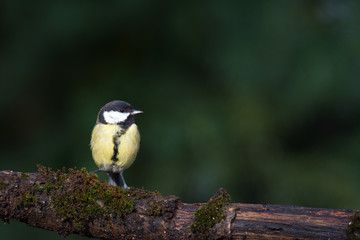 Great tit on tree