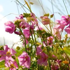 Sommerwiese - Malve