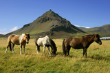 Horses in Snaefellsnes, Iceland poster