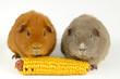 canvas print picture - Mais-team (US-teddy und curly Meerschweinchen)