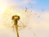 Pusteblume mit fliegenden Schirmchen im Sonnenlicht