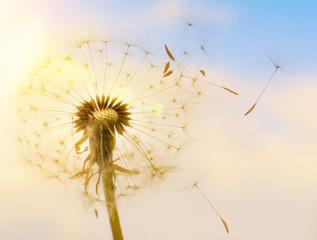 Pusteblume mit fliegenden Schirmchen im Sonnenlicht © Visions-AD
