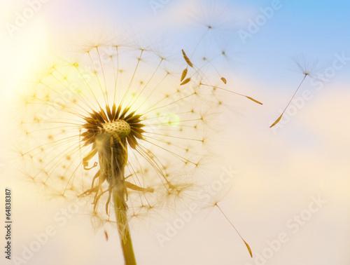 Keuken foto achterwand Paardebloem Pusteblume mit fliegenden Schirmchen im Sonnenlicht