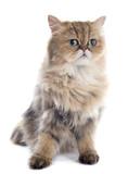 persian cat - 64839126
