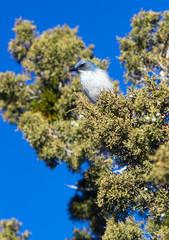 Scrub Jay Blue Bird Great Basin Region Animal Wildlife