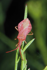 Chinche rosado, Sauceda, Hurdes, España