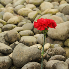 red carnation flower on remembrance field on italian cemetery
