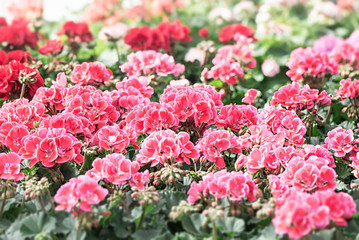 Bed of Royal pelargonium flowers