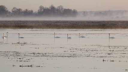 A group of swans in a pond foggy morning.