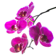 Blooming beautiful violet orchid with bandlet, phalaenopsis  iso