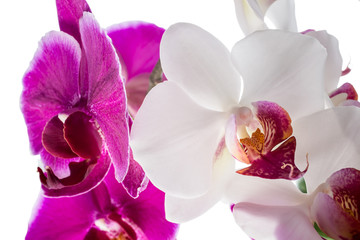Blooming purple and white orchid flower, phalaenopsis  isolated