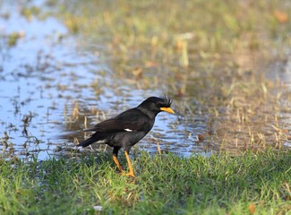 Great Myna, Acridotheres grandis