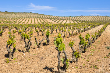 Vineyard at La Rioja (Spain)