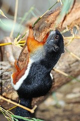 Asian tri-coloured squirrel © Arena Photo UK