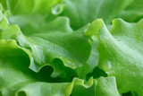 Detail of fresh leaf lettuce with water drops