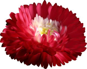 dark red aster flower isolated on white