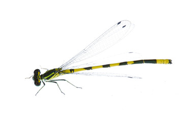 isolated small yellow and black dragonfly