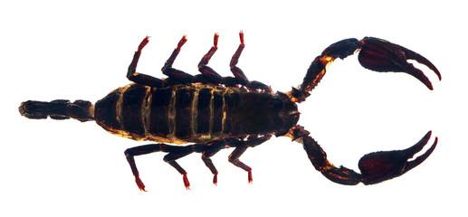 dark brown scorpion isolated on white