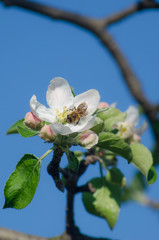 spring blossom of the apple tree with bee