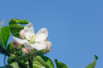 spring blossom of the apple tree