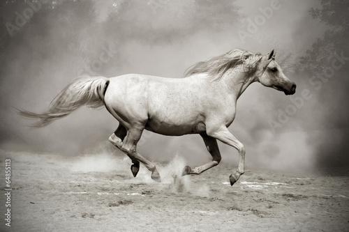 silver-white stallion in dust © kubikactive