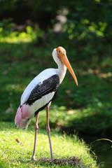 Yellow-billed Stork in nature, Thailand